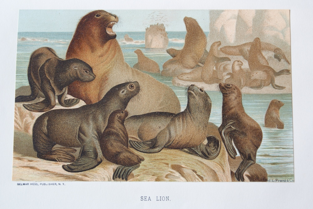S is for Sea Lion