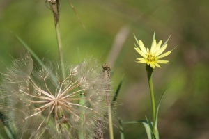 Tragopogon sp.