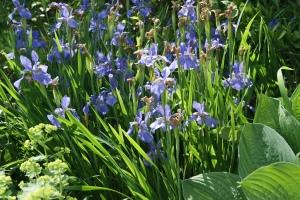 Iris prismatica var.