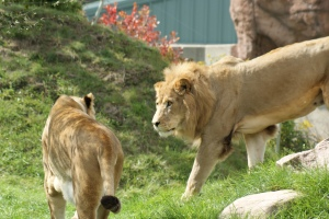 These lions are strolling through their compound at the Toronto Zoo.