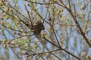 Song birds' nest