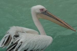 Pelicanus erythrorhynchos