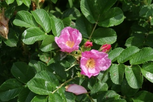 "Bush roses with simple flowers are close to Shakespeare's ""eglantine."""
