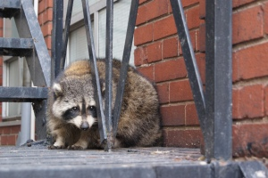 Toronto, Canada, has a large population of raccoons. Sometimes they get into mischief.
