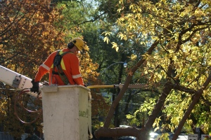 Tree pruning; arborists.
